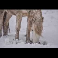 Photo of a horse grazing in the snow by Christine Haas