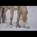 The Art of grazing in the snow