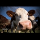 I am curious, portrait of cow by Christine Haas Photographer