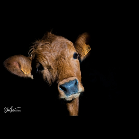 photo of a calf by Christine Haas photographer