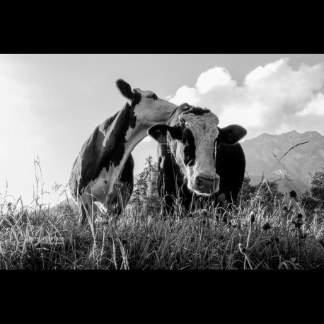 Bovine friendship